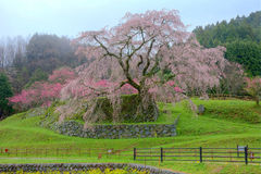 A giant cherry tree blooming in a foggy spring garden Royalty Free Stock Photography