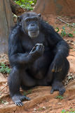 Giant chimpanzee monkey. Giant chimpanzee monkey sitting in the forest royalty free stock photos