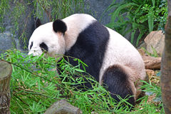 Giant Chinese Panda sitting while eating bamboo Stock Photos