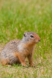 Giant chipmunk Stock Images
