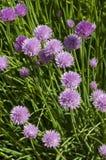 Giant Chives Allium schoenoprasum Sibiricum Royalty Free Stock Photo
