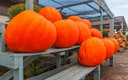 Giant Cinderella Pumpkin Stock Photography