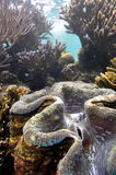 Giant clam. Green giant clam shellfish on coral reef in Hawaii Stock Photo