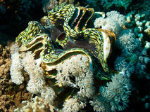 Giant clam Stock Images