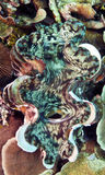 Giant clam Royalty Free Stock Photo