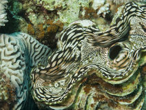 Giant clam. Royalty Free Stock Photography