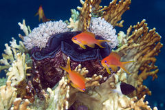 Giant clam and anthias in de Red Sea. Stock Photos