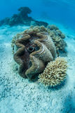 Giant Clam in Clear Water Stock Photo