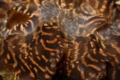 Giant Clam Royalty Free Stock Photography