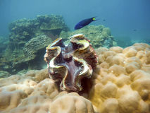 Giant on coral with blue fish in lipe sea Royalty Free Stock Image