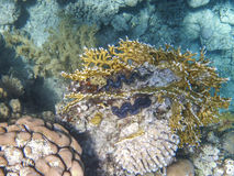 The giant clam on the coral reef in the red sea Stock Photos
