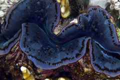 Giant clam in de Red Sea. Stock Image
