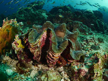 Giant clam. In the deep at similan Thailand Royalty Free Stock Photography