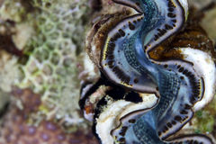 Giant clam detail in the Red Sea. Royalty Free Stock Images