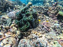 Giant Clam In Diving Spot Surin Island Royalty Free Stock Photos