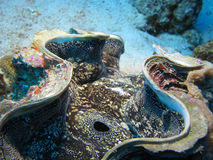 Giant Clam Macro. A close up of a giant clam Royalty Free Stock Image
