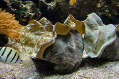 Giant clam Stock Image