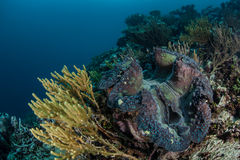 Giant Clam on Reef Royalty Free Stock Photography