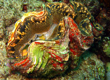 Giant Clam. Scaly Giant Clam/Squamose Giant Clam, Kakaban, Indonesia Stock Photo