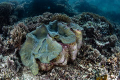 Giant in Shallows of Raja Ampat. A massive giant grows in Raja Ampat, Indonesia. This tropical region is known for its spectacular marine biodiversity and is a stock photo