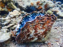 Giant in Purple and Blue with Red and White Rough Shell on Coral Reef stock photo