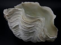 Giant Clam Shell. Giant clam (tridacna derasa) shell isolated on black background Stock Image