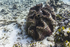 Giant clam at Similan island Stock Image