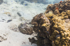 Giant clam (Tridacna gigas) Royalty Free Stock Photo