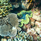 Giant clam at the tropical coral reef Royalty Free Stock Image
