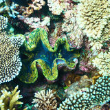 Giant clam at the tropical coral reef Royalty Free Stock Images