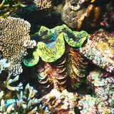 Giant clam at the tropical coral reef Stock Photos
