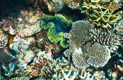 Giant clam at the tropical coral reef Stock Image