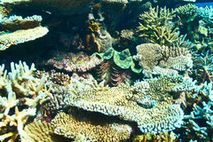 Giant clam at the tropical coral reef Royalty Free Stock Photography