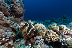 Giant clam and tropical reef in the Red Sea. Stock Photos