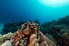 Giant clam and tropical reef in the Red Sea. Royalty Free Stock Image