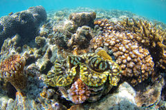 Giant Clam. On a tropical reef in the Whitsundays Stock Photo
