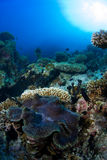 Giant clamp. On coral reef Stock Photos