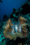 The giant clamp in Derawan, Kalimantan, Indonesia underwater photo Royalty Free Stock Images