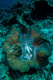 The giant clamp in Derawan, Kalimantan, Indonesia underwater photo Stock Photography