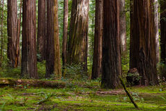 Giant Coast Redwood Trees Tower Over The Forest Floor. Royalty Free Stock Image