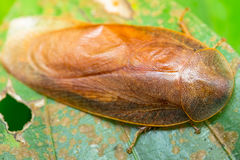 Giant Cockroach Royalty Free Stock Photo