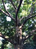 Giant Cola Tree Royalty Free Stock Photo