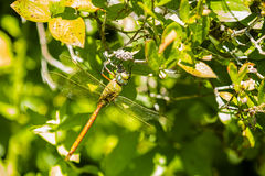 Giant Comet Darner Dragonfly Royalty Free Stock Images