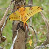 Giant Comet Moth Of Madagascar Royalty Free Stock Photography