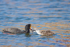 Giant Coot Feeding Chick Royalty Free Stock Images