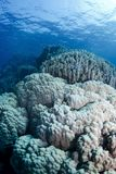 Giant Corals Royalty Free Stock Photos