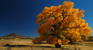 Giant Cottonwood Tree. In fall New Mexico royalty free stock photos