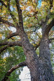 Giant cottonwood tree with fall foliage. Native to Colorado Plains, also the State tree of Wyoming, Nebraska, and Kansas - looking up stock image