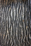 Giant cottonwood tree trunk. Texture of a giant cottonwood tree trunk with vertical bark patterns royalty free stock images