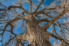 Giant cottonwood tree in winter Stock Image
